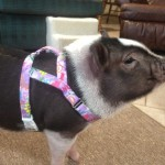 DannyZ in his PigGear Harnes