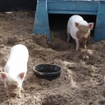 Piggies playing
