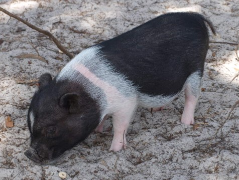 Archie Our Micro Pig
