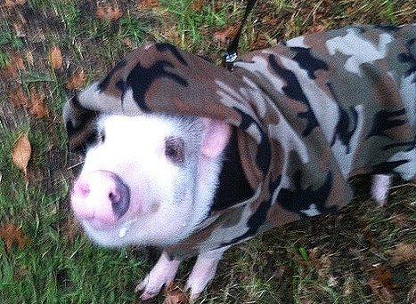 Breeds Of Mini Pigs Mini Pig Farm