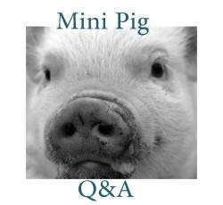 mini pig Q&A